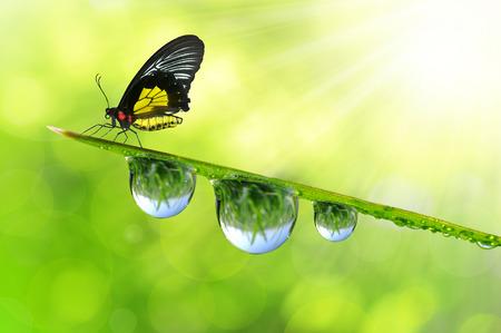 新鮮な朝の露と蝶