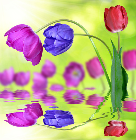 Colorful tulips on green background photo