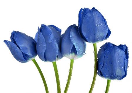blue tulip: Dewy blue tulips isolated on white background