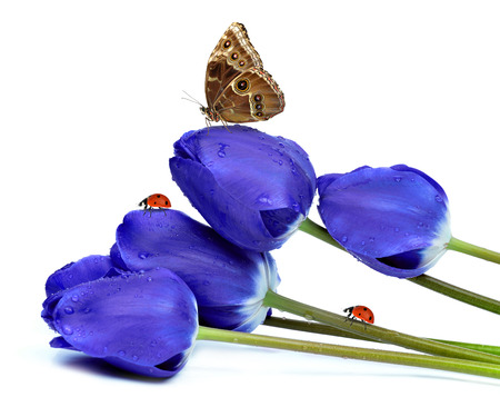 morpho: fresh blue tulips with butterfly and ladybugs isolated on white