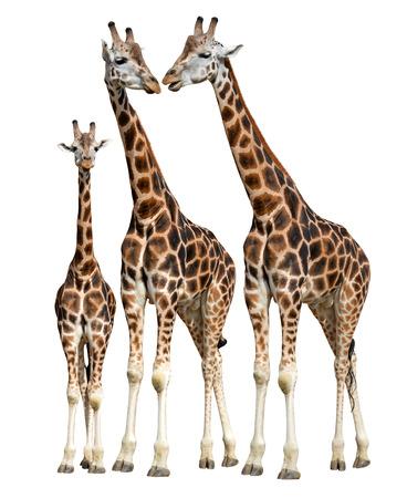 giraffes isolated on white background Stock Photo