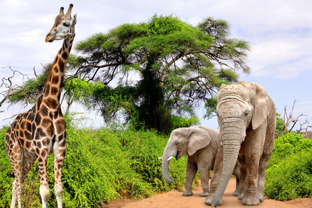 kruger national park: Giraffe and elephants in Kruger park South Africa