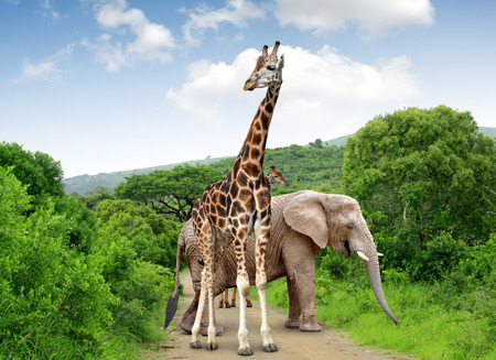 kruger national park: Giraffe and elephant in Kruger park South Africa