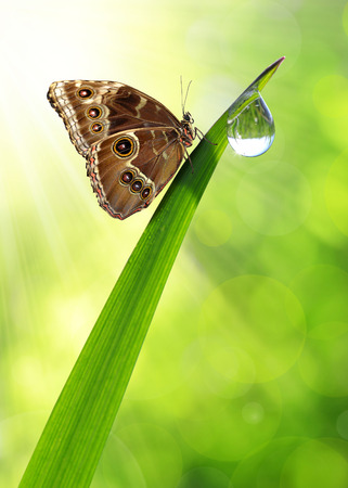 morpho: Water drop on green grass and butterfly Morpho
