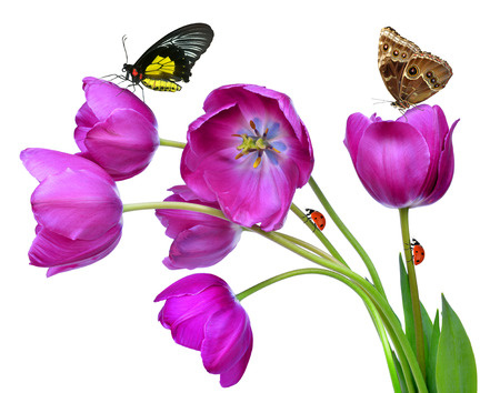 purple butterfly: fresh purple tulips with butterflies isolated on white Stock Photo