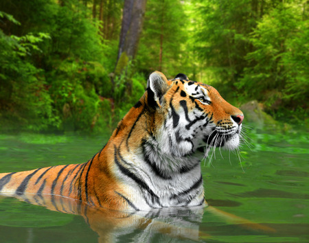tiger hunting: Siberian Tiger in water  Stock Photo