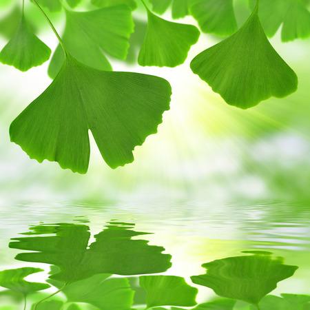 Ginkgo biloba Blätter