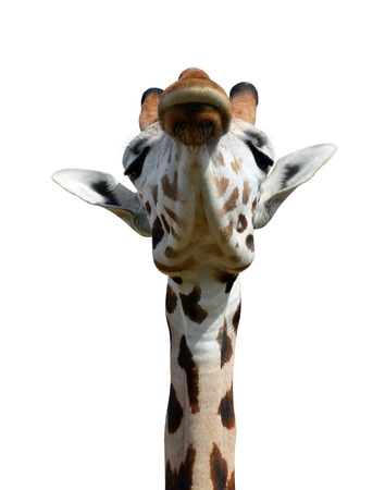 youngly: giraffe isolated