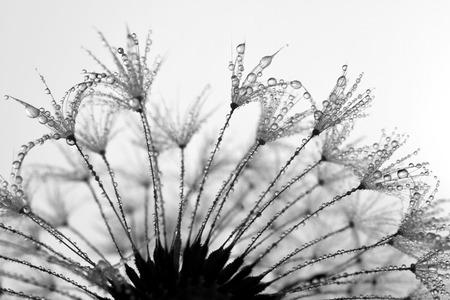 dewy: dewy dandelion close up
