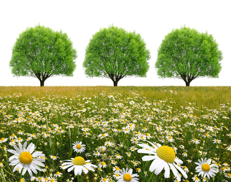 marguerites: field of marguerites with trees on white background
