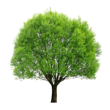 big tree: tree isolated on white background