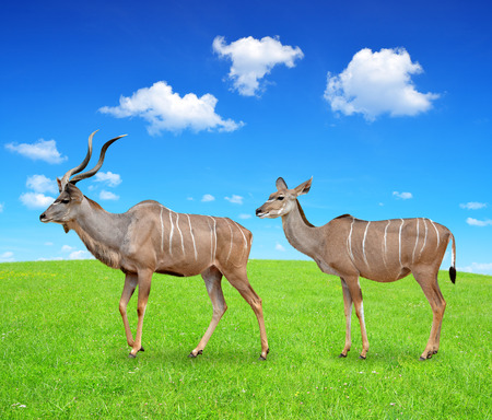 bovidae: greater kudu