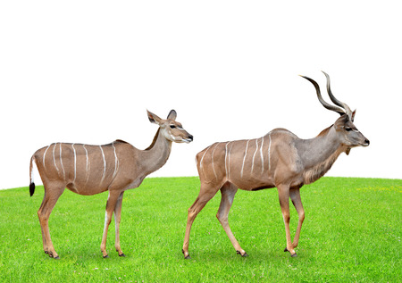 greater: greater kudu