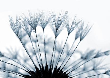 flower close up: dewy dandelion close up