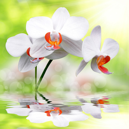 carpel: White orchid on green background