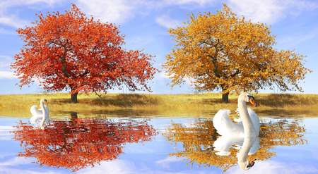Swans in autumn landscape