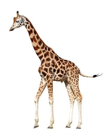 giraffe isolated on white background Reklamní fotografie