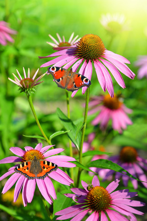 perennial plant: Blooming medicinal herb echinacea purpurea with butterflies against green background