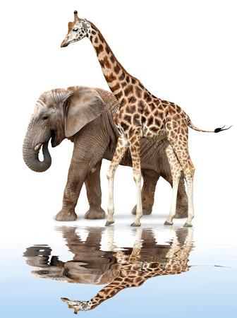 giraffe with elephant isolated on white photo
