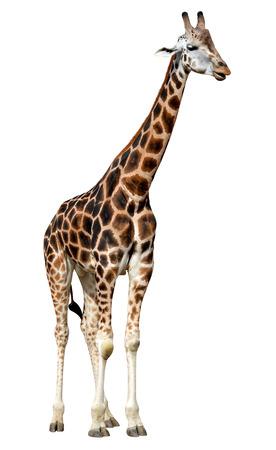 giraffe isolated on white background photo
