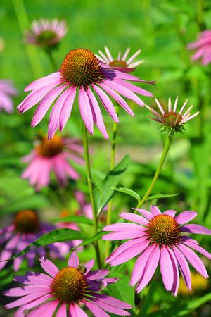 purpurea: Blooming medicinal herb echinacea purpurea or coneflower
