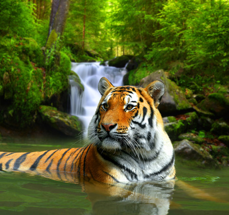 tiger hunting: Siberian Tiger in water