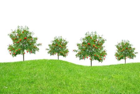 rowan tree: Trees on meadow