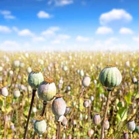 opiate: Poppy heads in field on sunny day Stock Photo