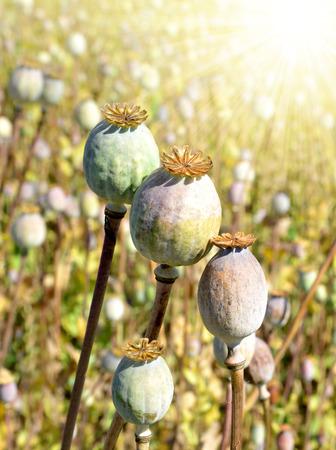 opiate: Poppy heads in field