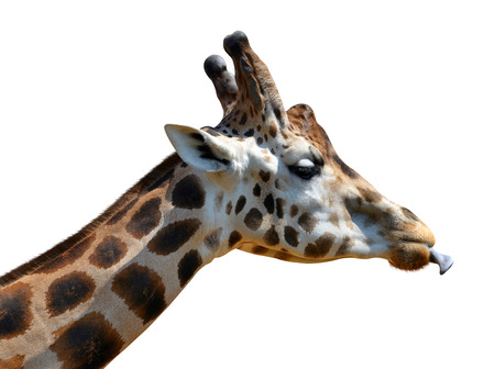 Portrait of a giraffe isolated on white background Stock Photo