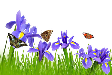 isolated irises: Iris flowers with dewy green grass and butterflies isolated on white background