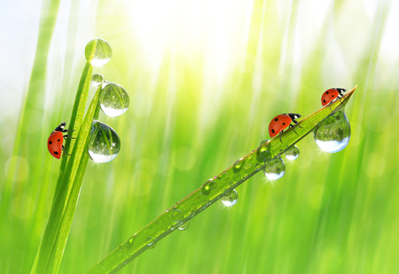 Fresh green grass with dew drops and ladybugs closeup. photo