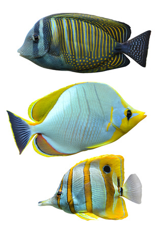 tropical reef fish  isolated on white background