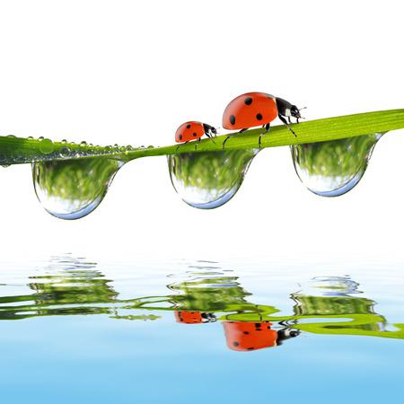 Fresh morning dew and ladybugs photo