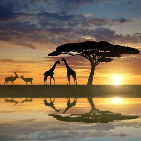 Giraffes with Kudu at sunset Imagens