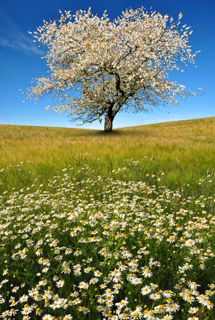 marguerites: field of marguerites with blooming tree