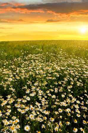 marguerites: Field of marguerites in the sunset