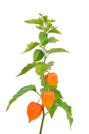 alkekengi: Physalis alkekengi plant isolated on white background