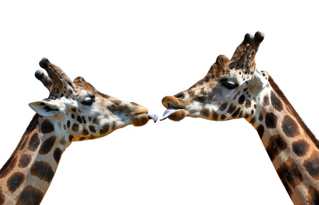 Portrait of a kissing giraffes isolated on white background