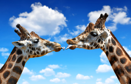 youngly: Portrait of a kissing giraffes