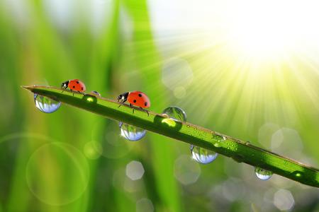 ladybird: fresh morning dew and ladybirds