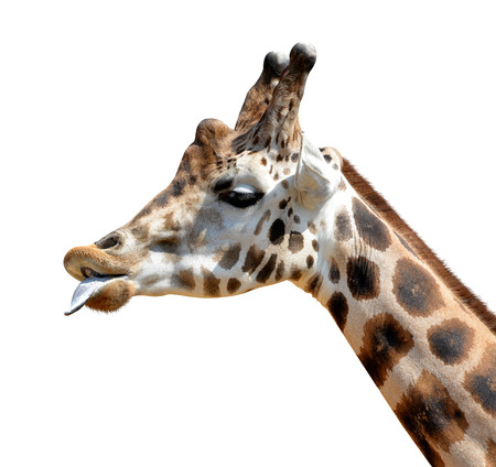 youngly: Portrait of a giraffe isolated on white background Stock Photo
