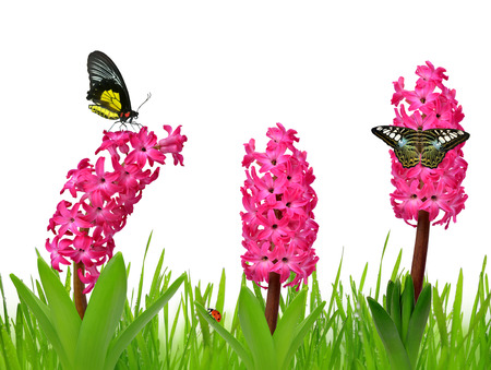 pink  leaf: Hyacinth with dewy grass and butterflies on white background Stock Photo