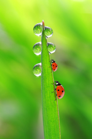 fresh morning dew and ladybirds photo