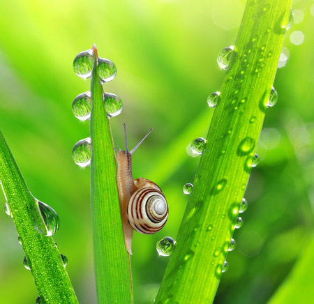 grass close up: Snail on dewy grass close up