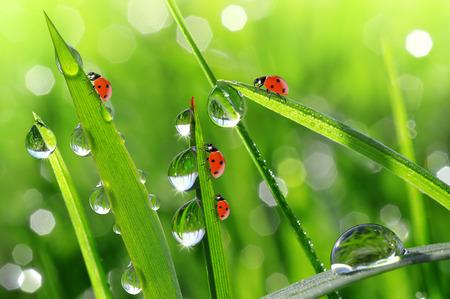 Fresh morning dew and ladybirds. Nature background. photo