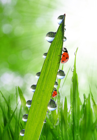 Fresh green grass with dew drops and ladybirds closeup photo
