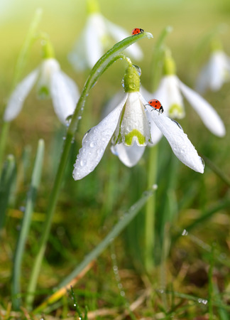 snowdrops: closeup snowdrops with ladybirds Stock Photo