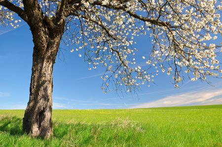flowering field: Blooming cherry tree on meadow. Spring landscape.