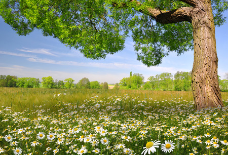 marguerites: field of marguerites with tree